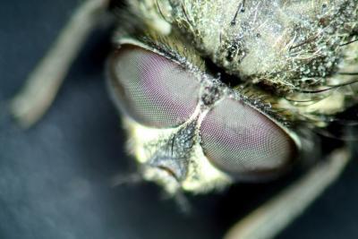 Colores que atraen a las moscas negras
