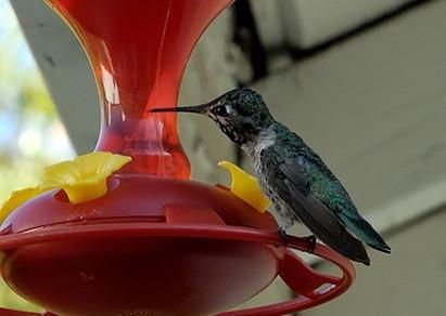 ¿Por qué Azúcar Agua Hecho para los colibríes se vuelven turbias?