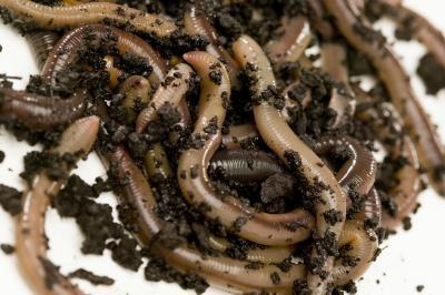 Las diferencias entre las serpientes y gusanos