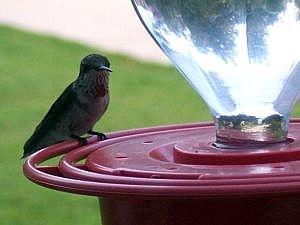 Cómo limpiar un alimentador del colibrí de cristal
