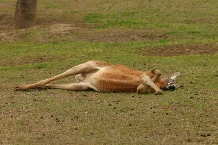 El hábitat natural del canguro