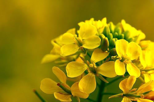 Partes de una flor de Brassica
