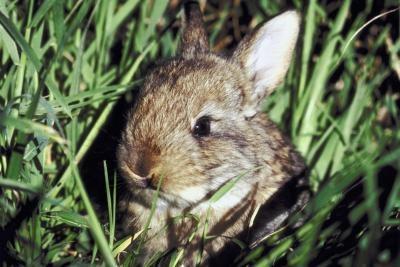 Especies Silvestres de Conejos Se encuentra en el estado de Washington