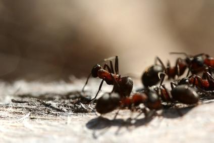 Las partes del cuerpo de una hormiga