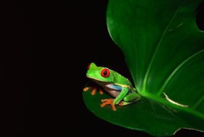 Cinco hechos sobre el Rain Forest ranas