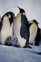 Rasgos Pingüino y Comportamientos