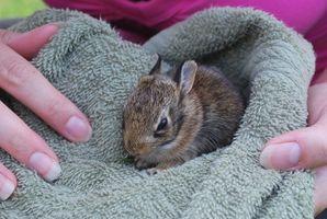 Como enfermera o cuidar a un conejo salvaje del bebé