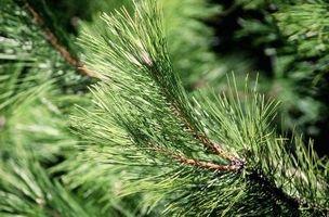 Cómo conseguir Aceite de pino De un Pinetree