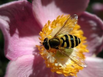 Insectos que se parecen a las abejas