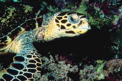 Las tortugas de agua salada del Nordeste