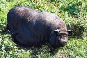Una lista de los estados que han salvajes Cerdos