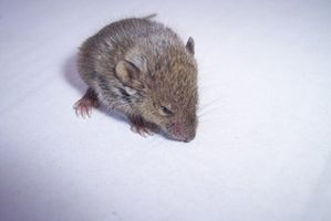 Cómo hacer una trampa de ratón como un proyecto de Instrucción