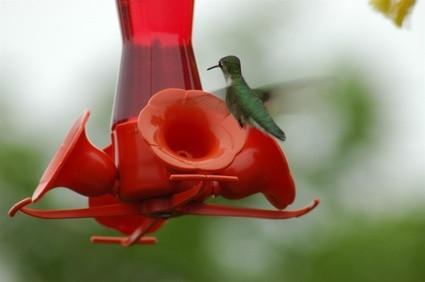 Diferencia entre un colibrí masculino y femenino