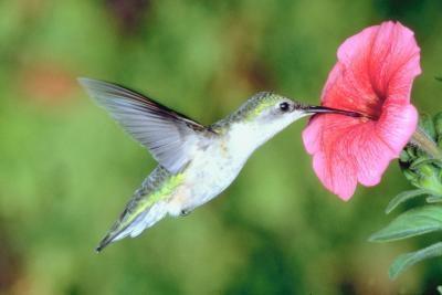 Tipos de colibríes que se encuentran en el norte de Indiana
