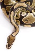 Cómo hacer maquillaje piel de serpiente Patrón
