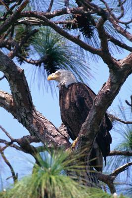 El papel del pino blanco en el ecosistema en Michigan