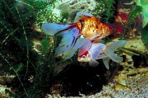 ¿Qué significa cuando las escamas de su pez de colores comienzan a desvanecerse?