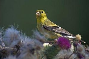 Cómo identificar un pájaro cantante amarillo