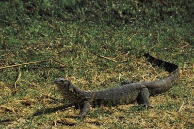 Reptiles que viven en los pastizales de África