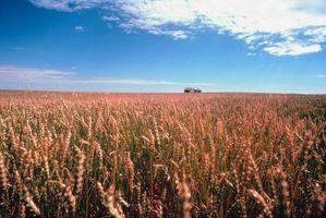 Usos no alimentarios de trigo