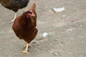Diversión Juegos de pollo