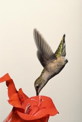 Tipos de colibríes en Delaware