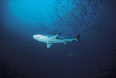 Las diferencias en masculino y femenino de los tiburones