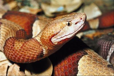 Las serpientes venenosas en Ft. Smith, Arkansas