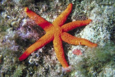 Cómo transportar una estrella de mar Muerto