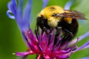 ¿Cómo puedo saber qué variedad de abejorros tengo?