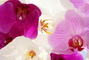 Cómo hacer de dama de Ramos con las orquídeas
