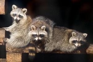 Datos acerca de los mapaches