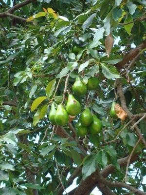 La identificación de plantas frutales