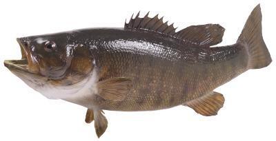 Información peces Taxidermista