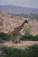 Las actividades humanas que afectan a la jirafa
