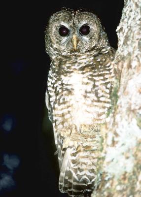 Las adaptaciones de hoja caduca Forest Owls