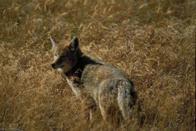 Cómo realizar el seguimiento de los coyotes Donde vivo