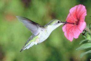 Cómo hacer que los alimentos para los colibríes