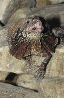 ¿Qué es un lagarto Frilled?