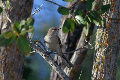 Lista de datos sobre el Mockingbird del Norte