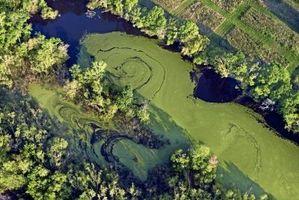 ¿De qué manera las algas Multiplicar?