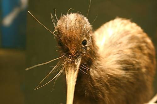 Identificación Nueva Zelanda Bird