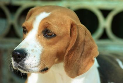Regalos del perro Beagle
