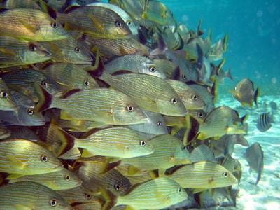 ¿De qué manera los peces nadan en las escuelas?