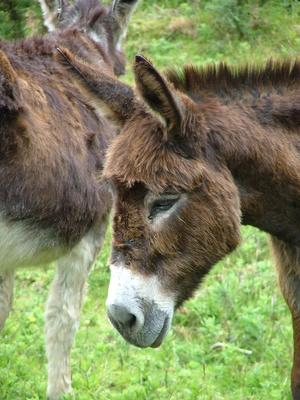 Datos interesantes sobre los burros