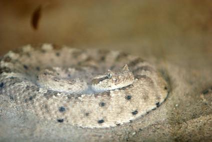 Datos sobre las serpientes de cascabel del Sidewinder