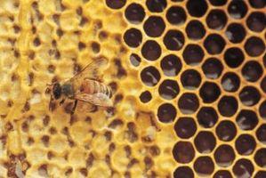 Etapas del ciclo de vida de una abeja de la miel