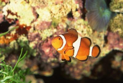Cómo criar Falso Percula Clownfish