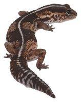 La diferencia en masculino y femenino salamandras
