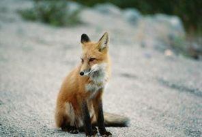 Los rituales de apareamiento de la Fox